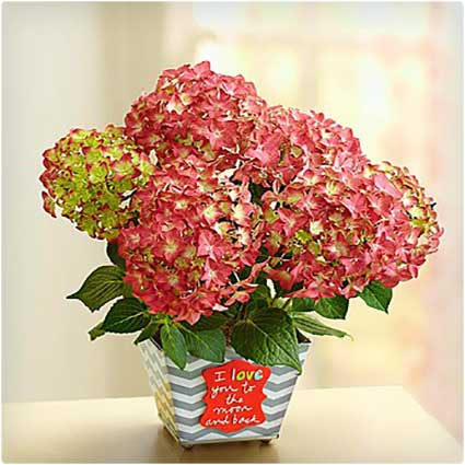 Love-You-to-the-Moon-and-Back-Hydrangea