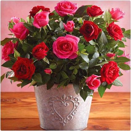 Valentine Mini-Roses