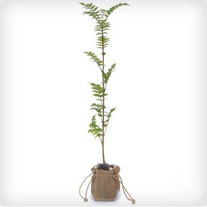 Rowan Tree of Life