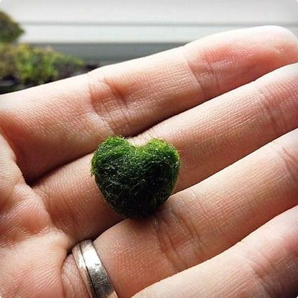 Heart Marimo