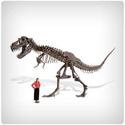The Life Size Tyrannosaurus Skeleton